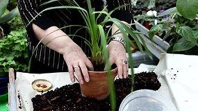 Orchidėjų priežiūra: cimbidžiui reikalingas molinis vazonas