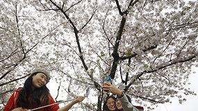 Japonijos parkuose savo žiedus praskleidė vyšnios