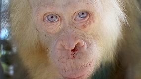 Indonezijoje aptiktas ir narve kalintas orangutangas albinosas atgauna jėgas