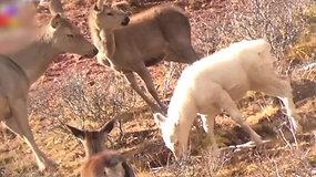 Kinijoje pirmąkart užfiksuotas baltas elnio vapičio jauniklis