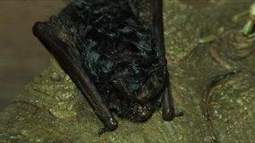 Kauno trečiajame forte prakiurusi tepalų statinė pražudė daugybę nykstančių šikšnosparnių