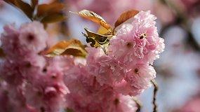 Valgomi sakurų žiedai Japonijoje — tikras pavasario skonis