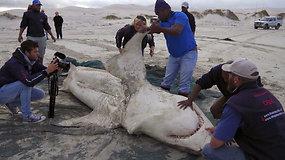 Užfiksuoti vaizdai įrodo, jog orkos medžioja baltuosius ryklius