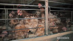 """Organizacijos """"Tušti narvai"""" tyrimas Lietuvos paukštynuose atskleidžia tiesą apie kiaušinių industriją"""