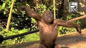 Mažylės gorilos šokis pradžiugino zoologijos sodo lankytojus