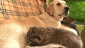 Mažyliui leopardui mamą atstoja auksaspalvė retriverė