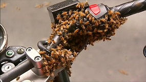 Netikėtas vaizdelis: bičių spiečius Sidnėjuje savo aviliu pavertė motociklą