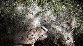 """""""Užkerėtas"""" miškas Izraelyje: medžius apgaubė tūkstančiai voratinklių"""