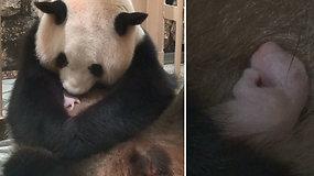 Jaudinanti akimirka: didžioji panda susilaukė vos 75 g sveriančios jauniklės