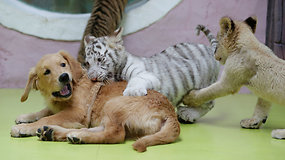 Mamų atstumti tigrų ir liūtų jaunikliai prieglobstį rado pas auksinius retriverius