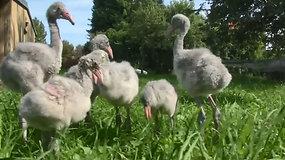 Tėvų palikti flamingų jaunikliai mokosi žengti pirmuosius žingsnius