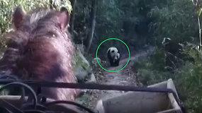 Kuriozinis susidūrimas: panda ir arklys neprasilenkė siaurame Kinijos kalnų takelyje