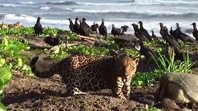 Mokslininkus pradžiugino Kosta Rikos paplūdimyje pastebėtas retas, bet pavojingas svečias