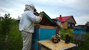 Bitės išgelbėjo merdėjantį Rusijos kaimelį – kompanijoje dirba pusė jo gyventojų