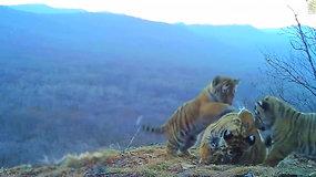 Slapta kamera nufilmuotas didžiausių ir vienų rečiausių tigrų elgesys nepaliko abejingų