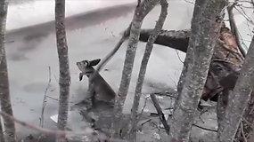 Kilnus poelgis: medžiotojai išgelbėjo įlūžusį stirniuką