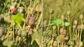 Nuo opijaus priklausomos papūgos kelia siaubą ūkininkams