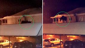 Kuriozinis vaizdelis nustebino moterį – negalėjo suprasti, kaip briedis atsidūrė ant stogo