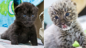 Rečiausių žemėje leopardų populiaciją papildė du mažyliai – vienas su išskirtine mutacija