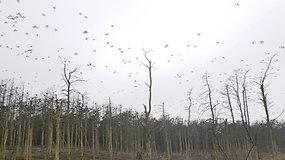 Reguliuoja populiaciją: ornitologai petardomis baido kormoranus ir kopia stebėti kiaušinių