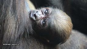 Vienu daugiau: pasaulį išvydo prie išnykimo ribos esančios gorilų rūšies mažylis