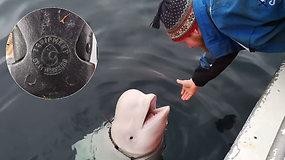 Slaptasis Rusijos agentas beluga: norvegai tvirtina, kad rusai ginkluoja banginius