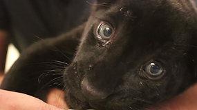 Išvydęs pasaulį, suteikė viltį visai nykstančiai rūšiai – reto juodo jaguaro gimimas tapo švente
