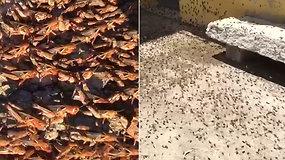 Turistų pamėgtoje saloje – apokaliptiniai vaizdai: gyventojai kenčia nuo milžiniškos skėrių invazijos