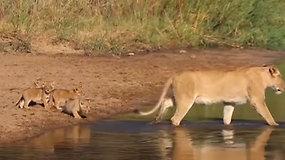 Sužavėtas vaizdo negalėjo sulaikyti juoko: liūtė per upelį vedė savo mažylius