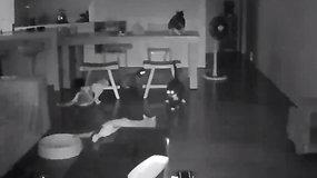 Namuose įrengtos kameros nufilmavo kačių reakciją į pražūtingą žemės drebėjimą