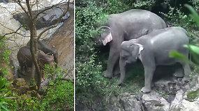 Bandydami išgelbėti vienas kitą nuskendo šeši drambliai – dar du pavyko išvesti iš gilaus tarpeklio