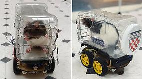 Žiurkės išmoko vairuoti mažyčius automobilius: įgūdį lavindami graužikai atsipalaiduoja