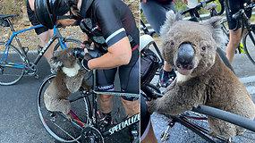 Dviratininkai nematė nieko panašaus: ištroškusi koala sustabdė juos prašydama atsigerti