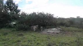 Aplink nelegalaus veislyno teritoriją Kėdainių rajone aptikti išbadėję šunys, teritorijoje mėtosi kaulai