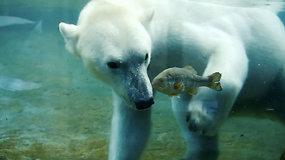 Baltieji lokiai švenčia: zoologijos sodas juos lepino gyva žuvimi