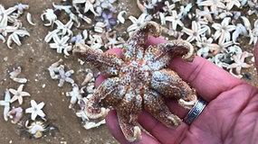 Didžiojoje Britanijoje tūkstančiai negyvų jūrų žvaigždžių nuklojo paplūdimį
