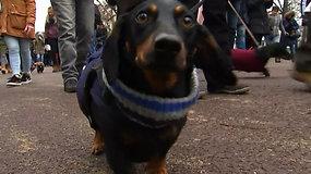 """""""Dešrelių pasivaikščiojimas"""" Londone: parke susitiko tūkstančiai taksų ir jų šeimininkų"""