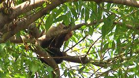 Meksikoje sumaištį sukėlė iš namų pabėgusi beždžionėlė