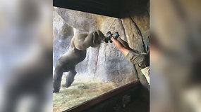 Floridos zoologijos sode gorila išmoko atsistoti ant rankų