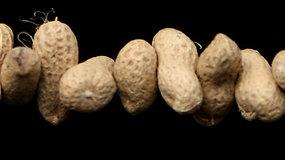 Mokslininkai išrado saugesnį ir patikimesnį žemės riešutų alergijos testą