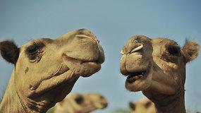 JAE kompanija siūlo pirmąjį pasaulyje kupranugarių pieno mišinį kūdikiams