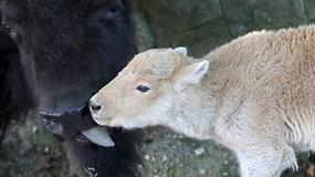 Retas gamtos fenomenas: Belgrado zoologijos sode gimė baltasis bizonas