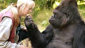 Mirė gestų kalbą mokėjusi ir aukštą IQ turėjusi gorila Koko