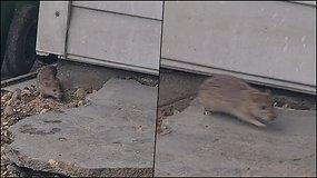 Vilniaus Savanorių prospekte veisiasi žiurkės – greičiausiai vilioja maisto atliekos