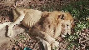 Išsekęs liūtas, kadaise buvęs cirko auka, grįžta pas savo gelbėtoją