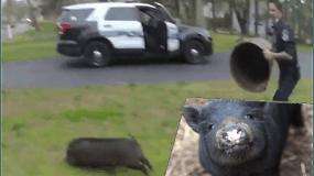 Grandiozinės gaudynės: policija 45 minutes vaikėsi pabėgusią kiaulę