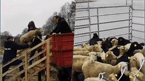 Į Nemuno salą atgabentos avys robinzonės: ėsdamos krūmus, čia privilios retus paukščius