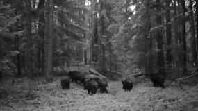 Čepkelių rezervato girioje užfiksuoti ramiai šmirinėjantys šernai
