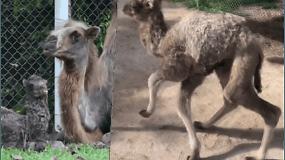 Zoologijos sode gimė itin nykstančios rūšies kupranugariukas – tokių liko tik apie tūkstantį