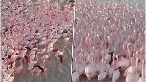 Ežeras nusidažė rausvai – pailsėti sustojo įspūdingas pulkas egzotiškųjų paukščių